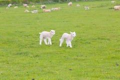 跳跃在一个草甸的小逗人喜爱的羊羔在农场 免版税图库摄影