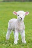 跳跃在一个草甸的小逗人喜爱的羊羔在农场 免版税库存照片
