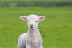 跳跃在一个草甸的小逗人喜爱的羊羔在农场 免版税库存图片