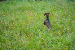 跳跃在与五颜六色的花的绿色领域的香肠狗或达克斯猎犬 免版税库存图片