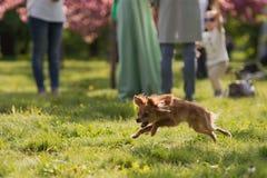 跳跃在人的腿前面的美好的草地的长毛的奇瓦瓦狗狗 免版税库存照片