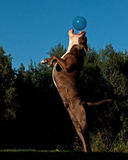跳跃在天空中的一条强有力的狗在气球以后 免版税库存图片