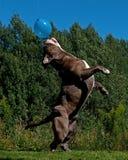 跳跃在天空中的一条强有力的狗在气球以后 图库摄影