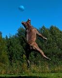 跳跃在天空中的一条强有力的狗在气球以后 库存照片