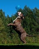 跳跃在天空中的一条强有力的狗在气球以后 免版税库存照片