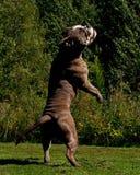 跳跃在天空中的一条强有力的狗 库存照片
