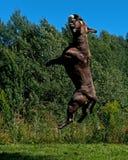 跳跃在天空中的一条强有力的狗 免版税库存照片
