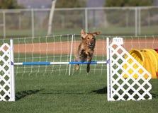 跳跃在敏捷性的金毛猎犬 免版税库存照片