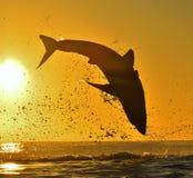 跳跃在日出红色天空背景的大白鲨鱼剪影  免版税库存照片