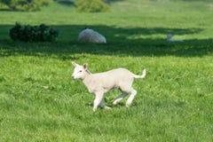 跳跃在春天领域的愉快的矮小的逗人喜爱的新出生的羊羔 库存照片
