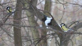 跳跃在树的光秃的分支的冬天的灵活山雀 股票录像