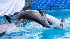 跳跃在水池的两只海豚 库存图片