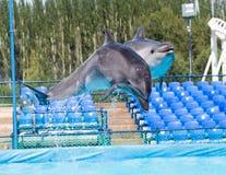 跳跃在水池的两只海豚 免版税库存图片