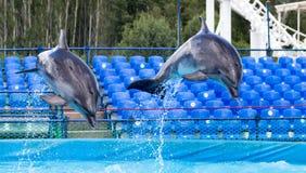 跳跃在水池的两只海豚 免版税库存照片