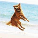 跳跃在海滩的金黄狗 免版税图库摄影