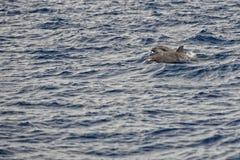 跳跃在深蓝色海的一只被隔绝的海豚 库存照片