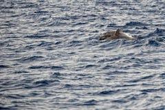 跳跃在深蓝色海的一只被隔绝的海豚 免版税库存图片