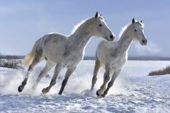 跳跃在白色雪的白马 库存照片