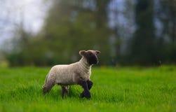 跳跃在草甸的羊羔 免版税库存照片