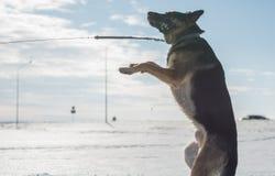 跳跃在雪的德国牧羊犬狗室外 背景蓝色雪花白色冬天 免版税图库摄影