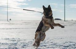 跳跃在雪的德国牧羊犬狗室外 背景蓝色雪花白色冬天 免版税库存照片
