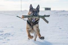 跳跃在雪的德国牧羊犬狗室外 背景蓝色雪花白色冬天 图库摄影