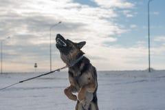 跳跃在雪的德国牧羊犬狗室外 背景蓝色雪花白色冬天 库存图片
