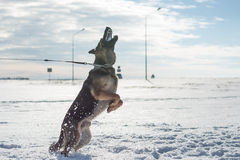 跳跃在雪的德国牧羊犬狗室外 背景蓝色雪花白色冬天 库存照片