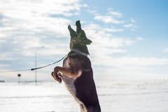 跳跃在雪的德国牧羊犬狗室外 背景蓝色雪花白色冬天 免版税库存图片