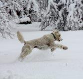 跳跃在雪的Labradoodle 免版税图库摄影