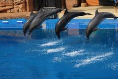 跳跃在水池的四只海豚 免版税图库摄影