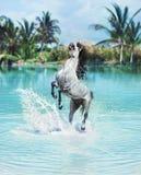 跳跃在水池的庄严马 免版税库存照片