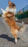 跳跃大牧羊犬的狗  图库摄影
