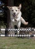 跳跃敏捷性障碍的愉快的黄色拉布拉多猎犬 免版税库存图片