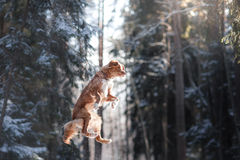 跳跃新斯科舍鸭子敲的猎犬品种狗的上流户外 库存图片