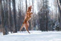 跳跃新斯科舍鸭子敲的猎犬品种狗的上流户外 免版税库存照片