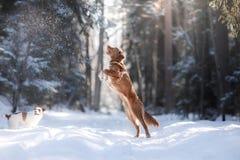 跳跃新斯科舍鸭子敲的猎犬品种狗的上流户外 免版税图库摄影