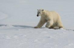 跳跃横跨在冰的一个裂缝的北极熊在卑尔根群岛北部的浮冰块 库存图片
