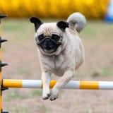跳跃的哈巴狗 免版税库存照片