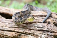 跳跃的坑蛇蝎(atropoides Mexicanus) 图库摄影