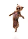 跳跃的小狗 免版税库存照片