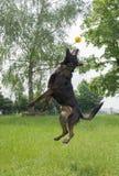 跳跃的德国牧羊犬使用和 免版税库存照片