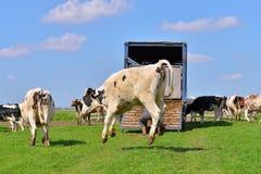 跳跃的母牛在绿色草甸 免版税库存图片