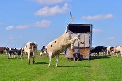 跳跃的母牛在绿色草甸 图库摄影
