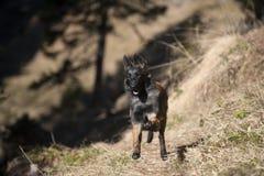 跳跃的比利时牧羊人小狗 免版税库存图片
