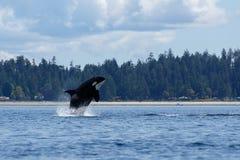 跳跃的海怪或虎鲸 免版税库存图片