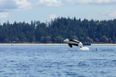 跳跃的海怪或虎鲸 免版税库存照片