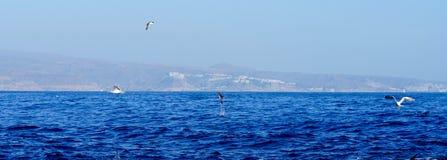 跳跃的海豚和海鸥 图库摄影