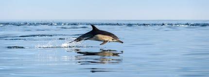 跳跃的海豚在海洋 库存照片