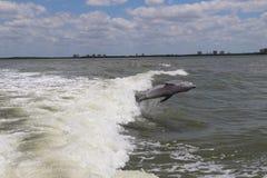 跳跃的海豚 图库摄影
